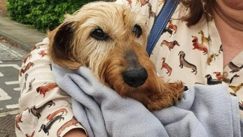 Stolen sausage dog missing for three months returns covered in fleas and filth